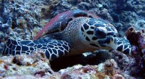 沖縄恩納村のウミガメ